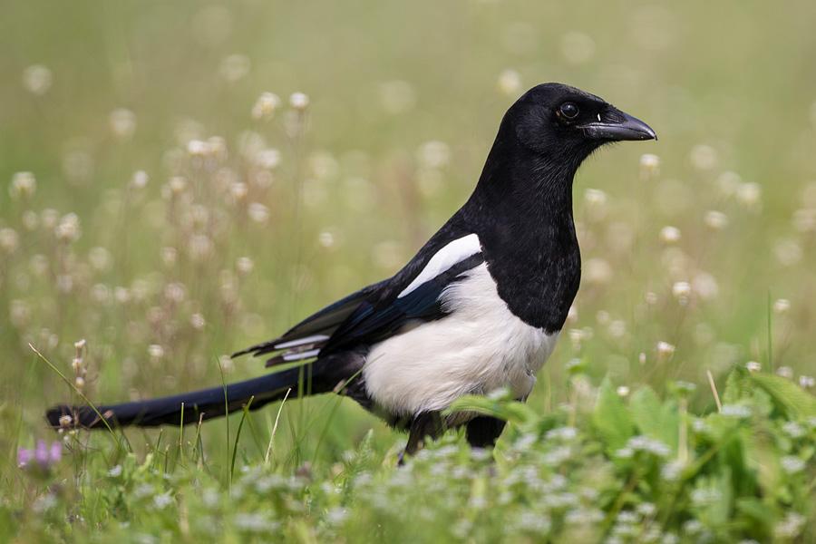 birds-online ch - vogelarten - singv u00f6gel