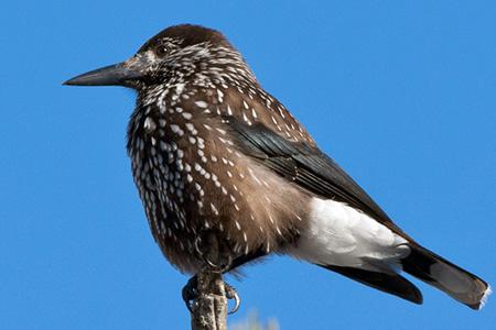 birds vogelarten singv gel tannenh her. Black Bedroom Furniture Sets. Home Design Ideas